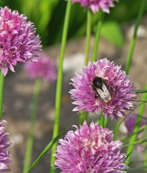 Chive flower head, with a busy bumblebee